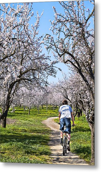 Almond Orchards In Full Bloom Metal Print
