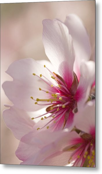 Almond (prunus Dulcis) Metal Print by Power And Syred