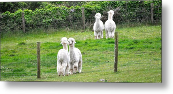 Alpacas In Ireland Metal Print