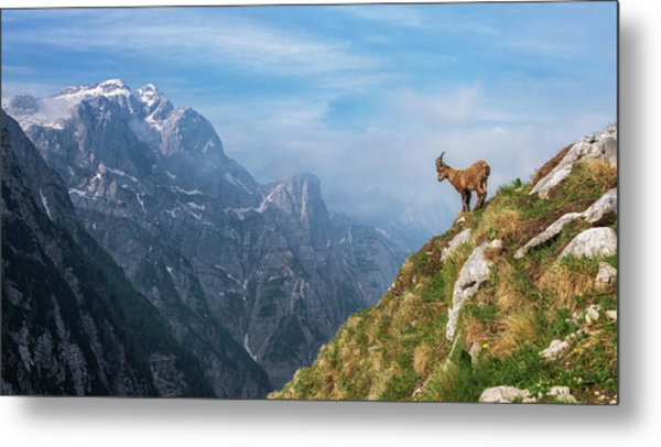 Alpine Ibex In The Mountains Metal Print