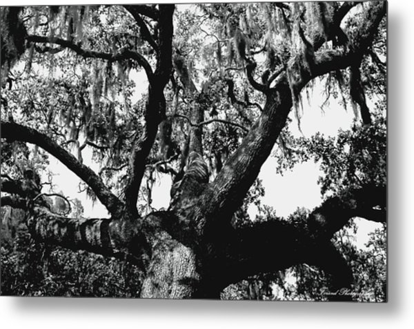 Amazing Oak Tree Metal Print