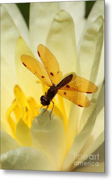 Amber Dragonfly Dancer Metal Print