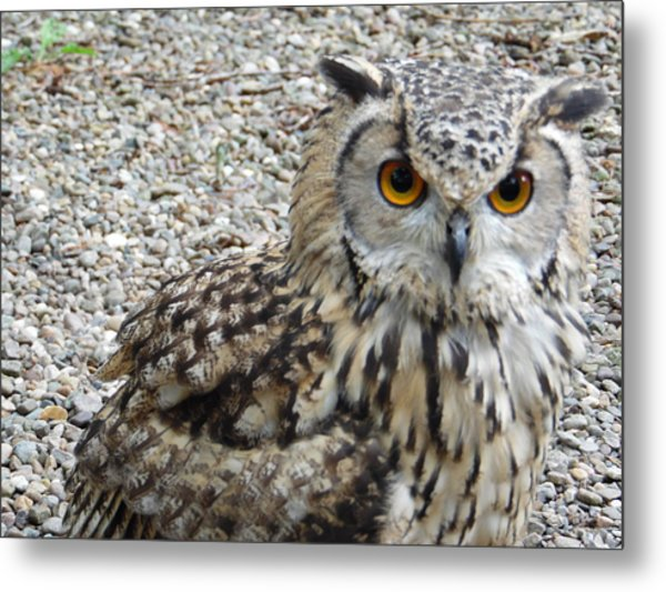 Amber Eyes Owl Metal Print