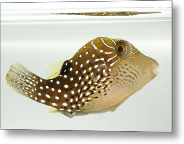 Ambon Toby Metal Print by Brian Magnier