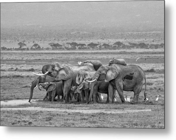 Amboseli Ellies Metal Print