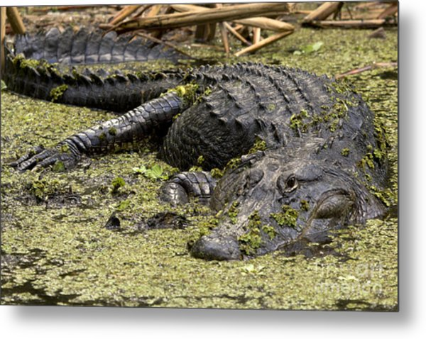 American Alligator Smile Metal Print