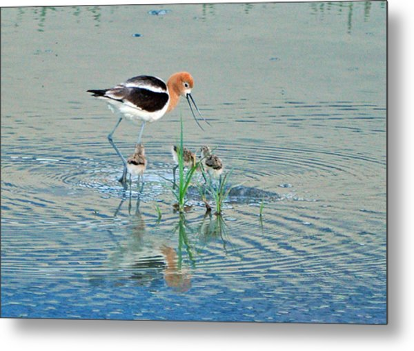 American Avocet With Young Metal Print