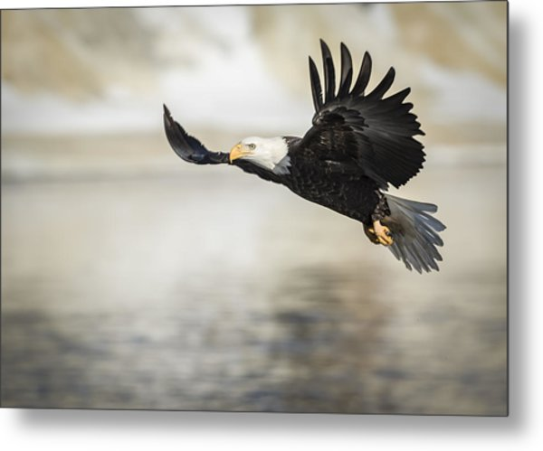 American Bald Eagle 2015-22 Metal Print