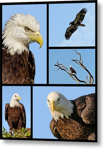 American Bald Eagle Collage Metal Print