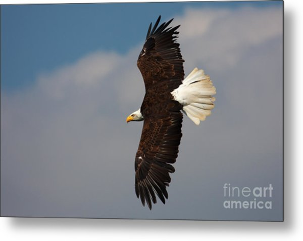 American Bald Eagle In Flight Metal Print