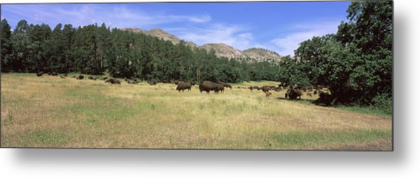 American Bison Grazing On A Landscape Metal Print