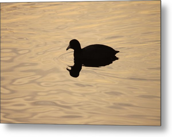 American Coot Silhouette Metal Print by Brian Magnier