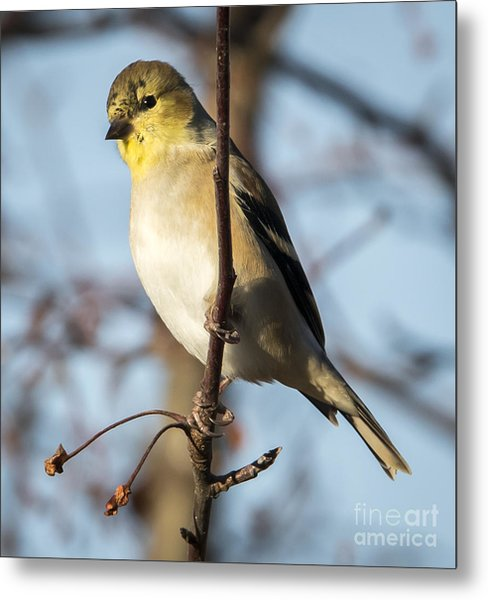 American Goldfinch Metal Print by Ricky L Jones