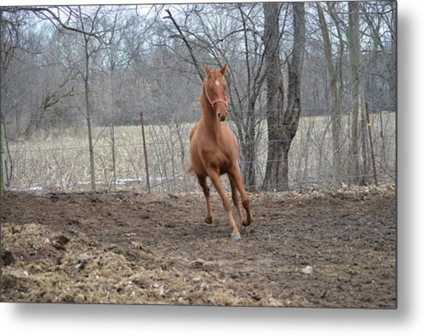 American Saddlebred Metal Print by Jennifer  King