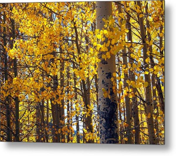 Among The Aspen Trees In Fall Metal Print