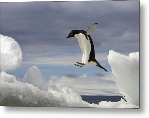 An Adelie Penguin, Pygoscelis Adeliae Metal Print by Ralph Lee Hopkins