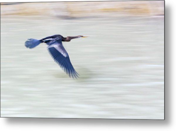 An Indian Darter (anhinga Melanogaster) Metal Print