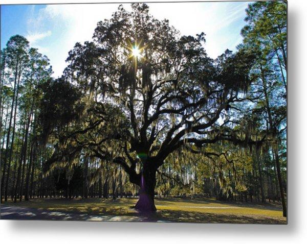 An Old Oak Tree Metal Print
