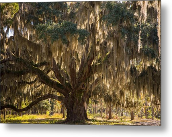 Ancient Oak 1 Metal Print