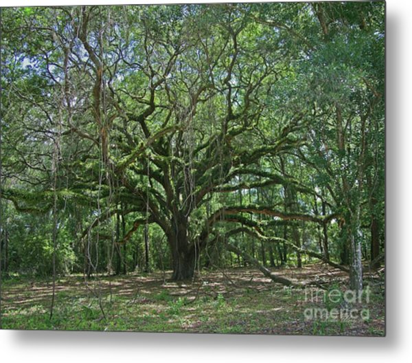Ancient Oak Cathedral Of Moss And Fern Metal Print