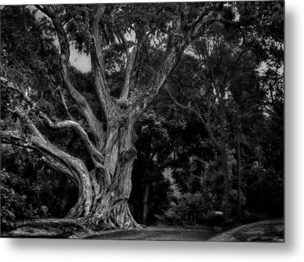 Ancient Tree Metal Print
