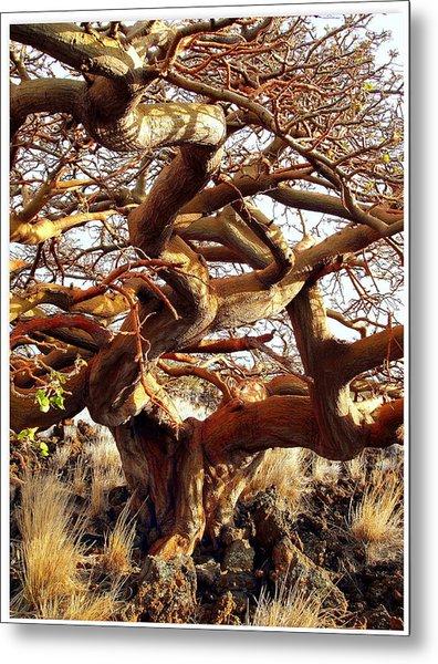 Ancient Wiliwili Tree Metal Print by Stephen Green