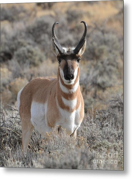 ...and The Antelope Play Metal Print