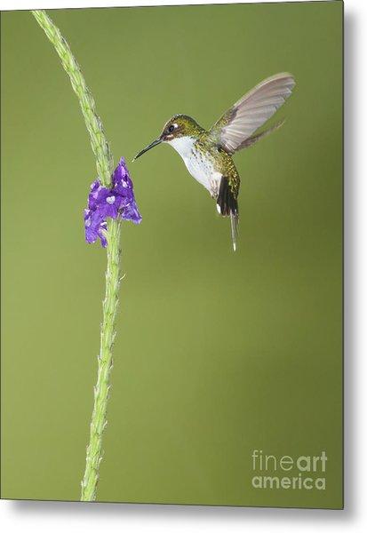 Andean Emerald Hummingbird Metal Print