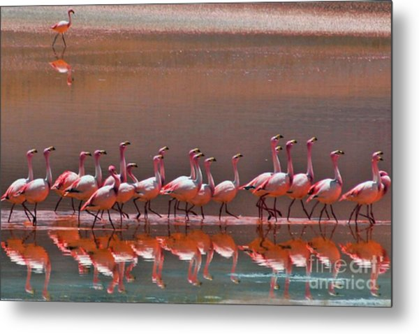 Andean Flamingoes Metal Print