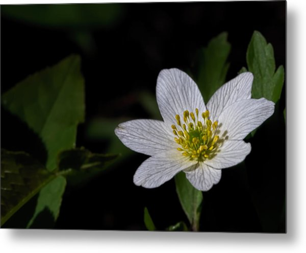Metal Print featuring the photograph Anemone Nemorosa  By Leif Sohlman by Leif Sohlman