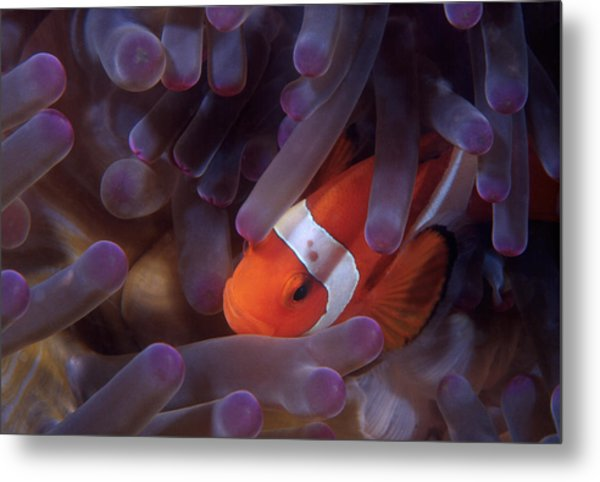 Anemonefish Metal Print