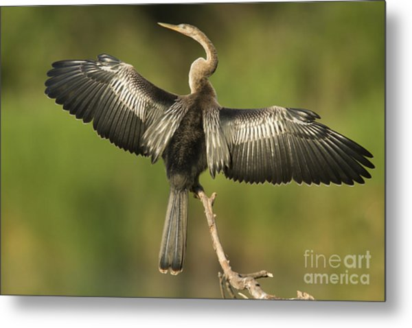 Anhinga Posing Metal Print by Kelly Morvant