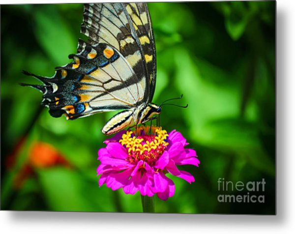 Anise  Swallowtail Butterfly Metal Print