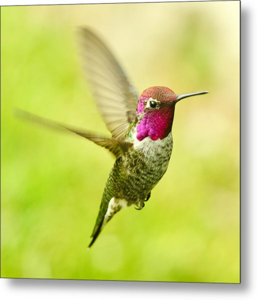 Anna\'s Hummingbird Photograph by Edmund Wu
