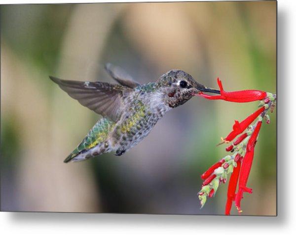 Anna's Hummingbird Metal Print by Thy Bun
