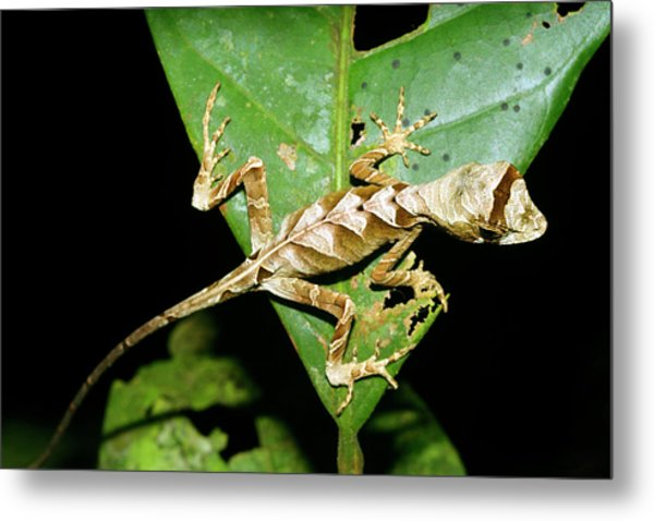 Anolis Lizard Metal Print by Dr Morley Read/science Photo Library