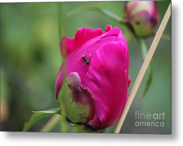 Metal Print featuring the photograph Ant On Peony by Ann E Robson