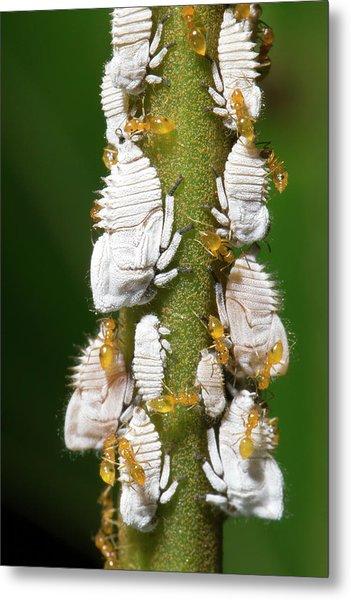 Ants Tending Planthopper Nymphs Metal Print