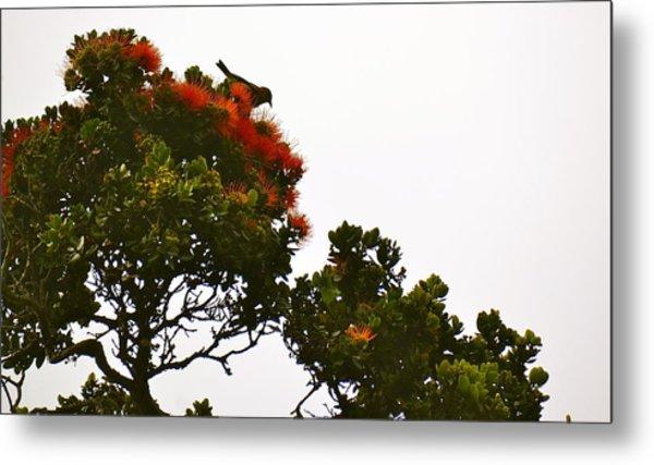 Apapane Atop An Orange Ohia Lehua Tree  Metal Print