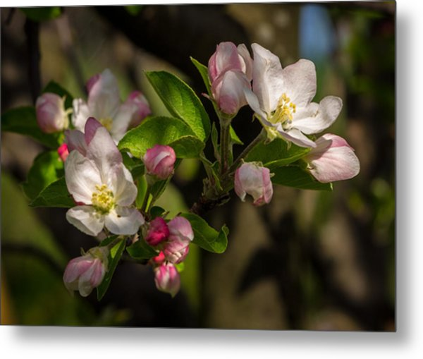Apple Blossom 3 Metal Print by Carl Engman