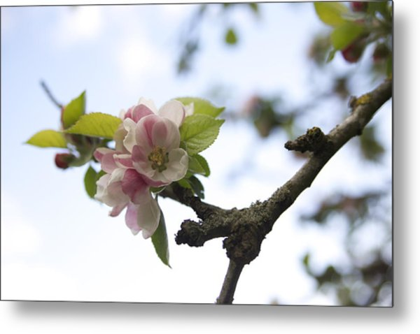Apple Blossom Metal Print by Maeve O Connell