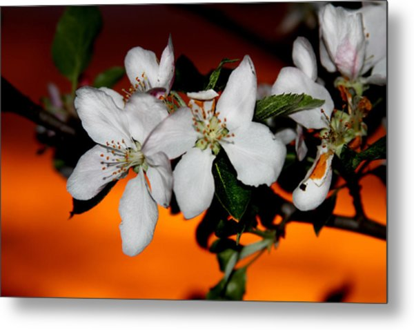 Apple Blossom Sunrise I Metal Print