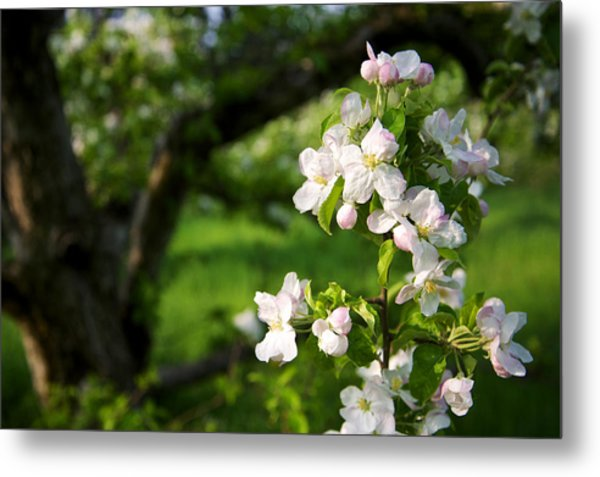 Apple Blossoms In The Orchard Metal Print