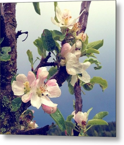 Apple Blossoms Right Outside My Studio Metal Print