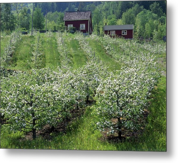 Apple Orchard Metal Print by Science Photo Library