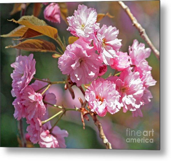 Apple Tree Blossoms Metal Print by Kenny Bosak