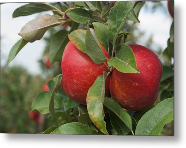 Apples On The Branch Metal Print