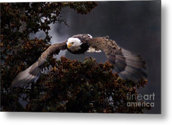 Approaching Eagle-signed- Metal Print