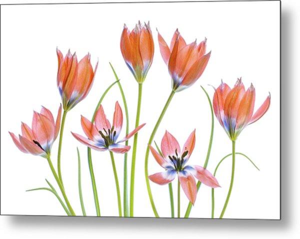 Apricot Tulips Metal Print
