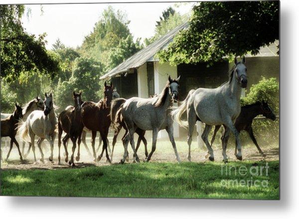 Arabian Horses Metal Print by Angel Ciesniarska